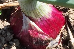 無農薬加賀産野菜【玉ねぎ】