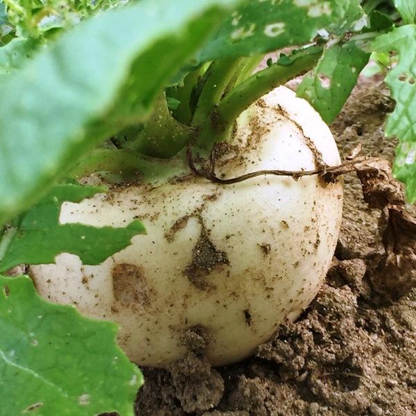 無農薬加賀産野菜【白かぶ】