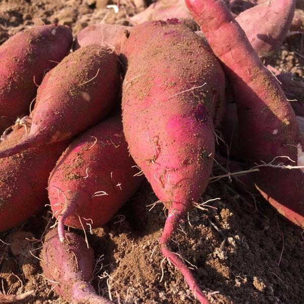 無農薬「紅はるか」只今収穫真っ盛り!!